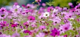 kwiaty kosmos